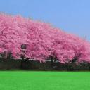 樱花飘落动态壁纸Cherry