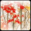 枫叶动态壁纸