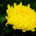 国庆重阳赏菊花动态壁纸