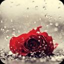 雨中玫瑰動態壁紙