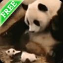 熊猫打喷嚏壁纸