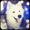 微笑天使萨摩