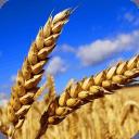 麦子 • 图话天下
