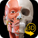 Muscular System 3D Anatomy Lt