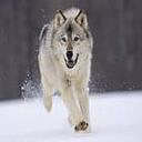 白狗大战群狼