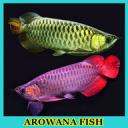 Arowana Fish Gallery