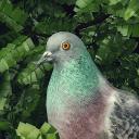 鴿子:愛情故事