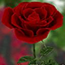 3D玫瑰花動態壁紙