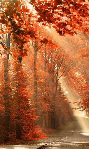 秋季的枫叶林-桌面壁纸