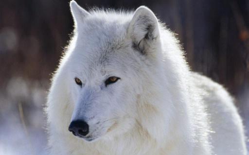 有关于狼的壁纸