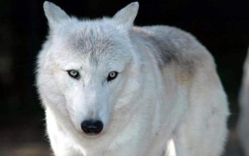 关于狼的图片的壁纸