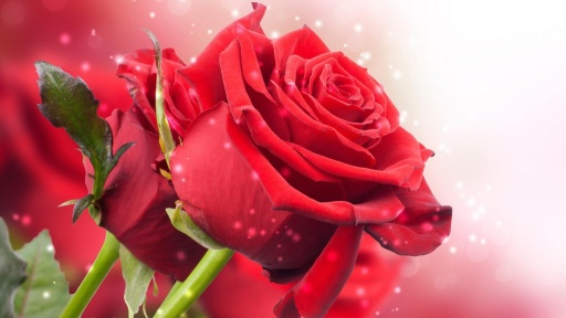 红玫瑰动态壁纸v4.2_站外应用