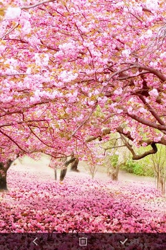 春天樱花动态壁纸