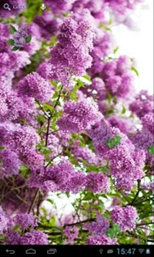 紫丁香截图9