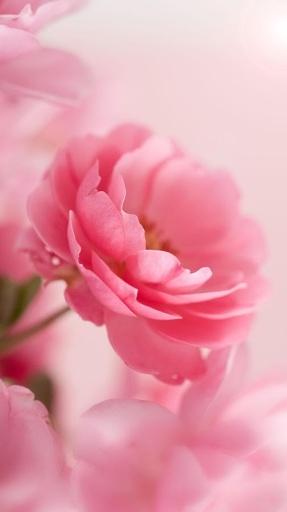 走散落著玫瑰花瓣的道路,享受美妙的粉紅玫瑰動態壁紙的浪漫!
