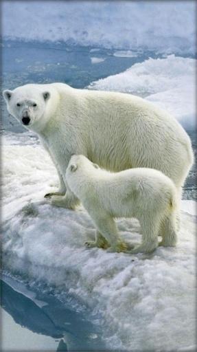 北极熊态动壁纸商户怎么支持蚂蚁花呗支付图片