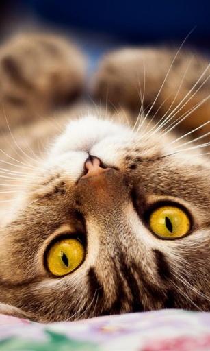 呆萌小猫咪动态壁纸