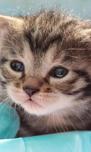 小小猫咪动态壁纸