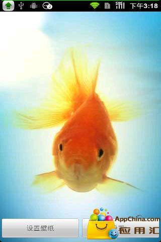 金鱼动态壁纸